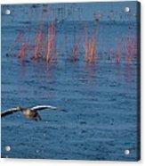 Grey Lag Goose In Flight Acrylic Print