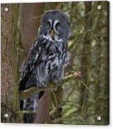 Grey Owl 3 Acrylic Print