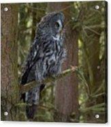 Grey Owl 4 Acrylic Print