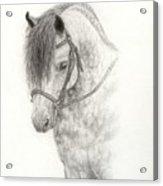 Grey Pony Acrylic Print