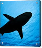 Grey Reef Shark Silhouette Acrylic Print