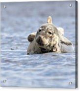 Common Seal Acrylic Print