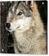 Grey Wolf Acrylic Print