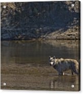 Grey Wolf In The Yellowstone River-signed-#4363 Acrylic Print