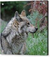 Grey Wolf Profile 2 Acrylic Print