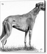 Greyhound Acrylic Print