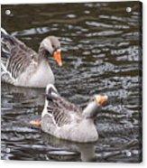Greylag Geese Acrylic Print