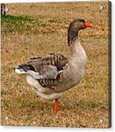 Greylag Goose 1 Acrylic Print