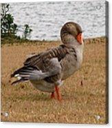 Greylag Goose 2 Acrylic Print