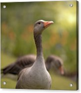 Greylag Goose Acrylic Print