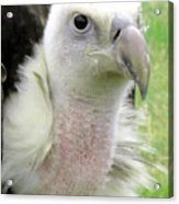 Griffins Vulture Eye To Eye Acrylic Print