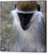 Grivet Monkey Acrylic Print