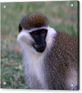 Grivet Monkey Ethiopia Acrylic Print