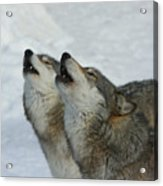 Grizzer And Maya Howling Acrylic Print