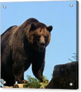 Grizzly-7747 Acrylic Print
