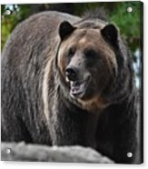Grizzly Bear 3 Acrylic Print