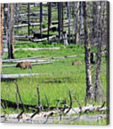 Grizzly Bear And Cub Cross An Area Of Regenerating Forest Fire Acrylic Print