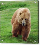 Grizzly Bear Approaching In A Field Acrylic Print