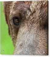 Grizzly Bear Arctos Ursus Acrylic Print