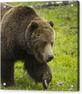 Grizzly Bear Boar-signed-#8517 Acrylic Print