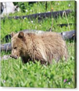 Grizzly Bear Cub In Yellowstone National Park Acrylic Print