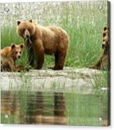 Grizzly Bear Family  Acrylic Print
