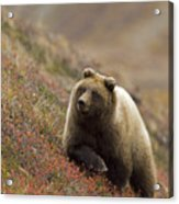 Grizzly Bear In Berries Acrylic Print