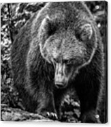 Grizzly Bear In Black And White Acrylic Print