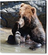 Grizzly Bear Licking His Paw While Seated In A Muddy River Acrylic Print
