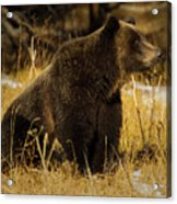 Grizzly Bear-signed-#6672 Acrylic Print