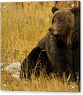 Grizzly Bear-signed-#6721 Acrylic Print
