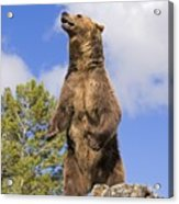 Grizzly Bear Standing On A Ridge Acrylic Print
