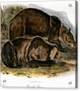 Grizzly Bear (ursus Ferox) Acrylic Print