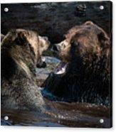 Grizzly Bears Acrylic Print