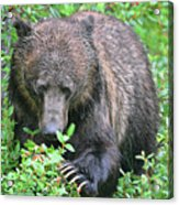 Grizzly Claws Acrylic Print