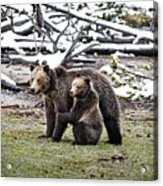 Grizzly Cub Holding Mother Acrylic Print