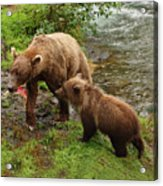 Grizzly Dinner For Two Acrylic Print