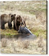 Grizzly Dinner Acrylic Print