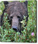 Grizzly In The Berry Bushes Acrylic Print