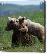 Grizzly  Mother And A Cub In Katmai National Park Acrylic Print