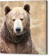Grizzly Portrait Acrylic Print