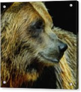 Grizzly Profile Acrylic Print