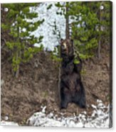 Grizzly Shaking A Tree Acrylic Print