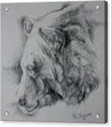 Grizzly Sketch Acrylic Print