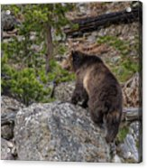 Grizzly Sow In Yellowstone Park Acrylic Print