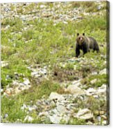 Grizzly Watching People Watching Grizzly No. 2 Acrylic Print