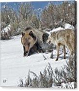 Grizzly With Coyote Acrylic Print