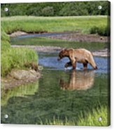 Grizzy Bear Crossing The River Acrylic Print