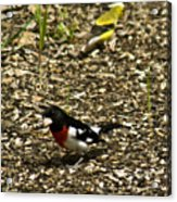 Grosbeak With Quizzical Look Acrylic Print