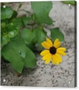 Grounded Sunflower Acrylic Print